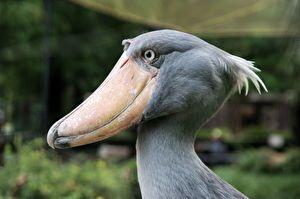 A Papucscsőrű madár