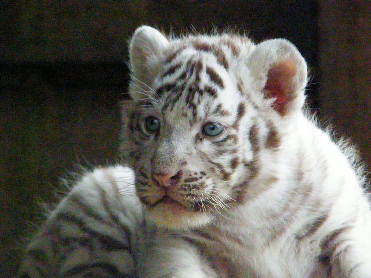 Situé dans le Loir-et-Cher, le parc zoologique de Beauval est l'un des plus important parc zoologique d'Europe. Classé parmi les 15 plus beaux zoos au monde, ici plus de 4 600 animaux de 400 espèces différentes font de ce lieu un endroit à ne pas manquer !    Partons à la découverte de ce lieu magique et inoubliable avec de nombreuses espèces uniques en France tels que les lamantins, koalas, okapis, mais également les premiers tigres blancs et lions blancs d'Europe.