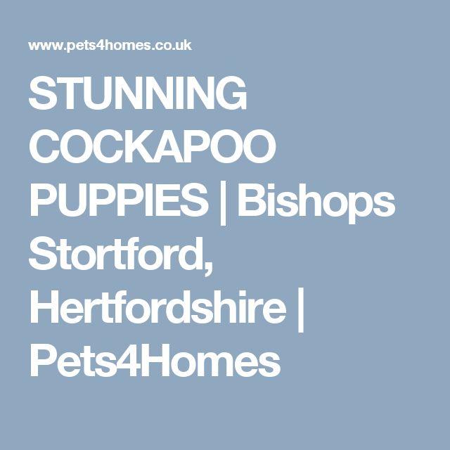 STUNNING COCKAPOO PUPPIES | Bishops Stortford, Hertfordshire | Pets4Homes