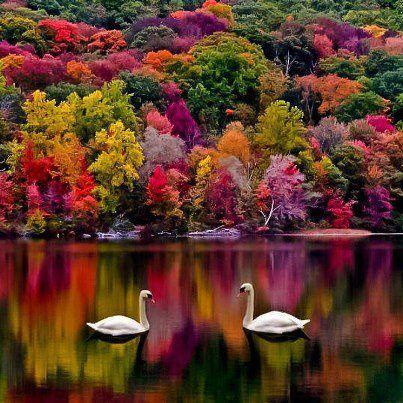 Swans, New Hampshire