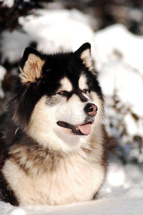 Purebred Alaskan Malamute Puppies - Alaskan Malamute puppies, kennel, breeder - Slushpuppy Malamutes