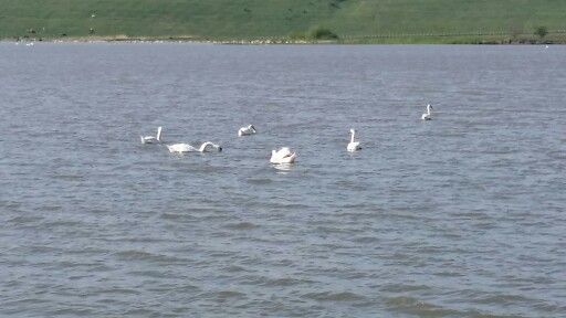 Swans on a sunny day in a small Romanian village