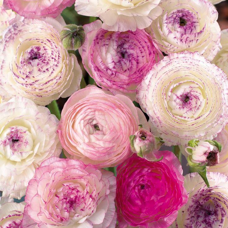 Ranunculus - Pink Picotee. Full sun. Height: 45cm. Flowers in May, June. Van Meuwen.