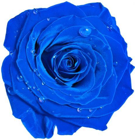 роза цветок бутон