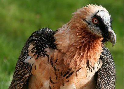 Gypaete barbu dans les Pyrénées, menacé d'extinction.