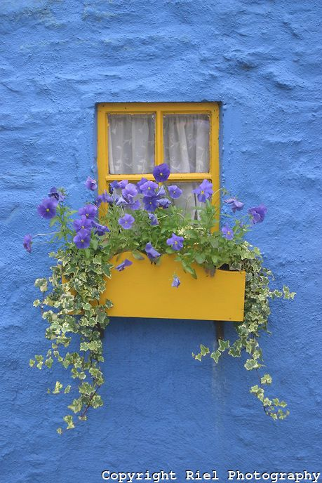 The Irish love their house colors primary and bold. This fisherman's cottage grabs your attention with its blue textured wall, simple yellow flower box and seasonal colors. - Riel Photography