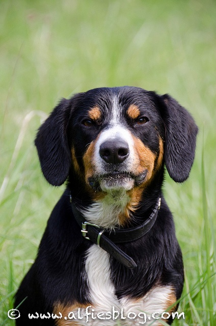 this is my 39 not impressed 39 face waggy tail entlebucher mountain dog love pinterest my. Black Bedroom Furniture Sets. Home Design Ideas