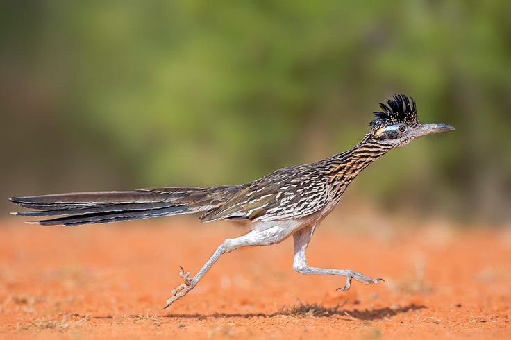 Greater Roadrunner/Professional Category. Photo: Hector Astorga - 2015 Audubon Photography Awards Top 100 | Audubon