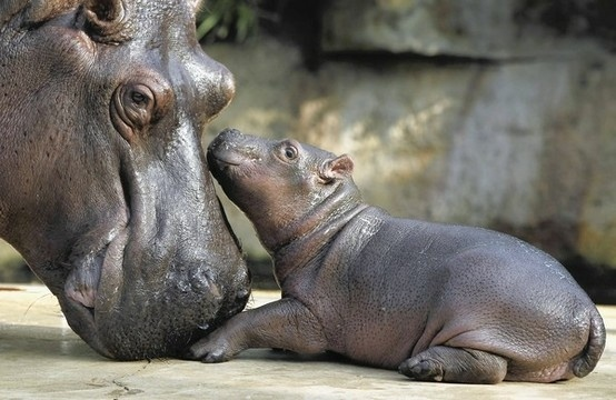 Hippo Mother & Baby