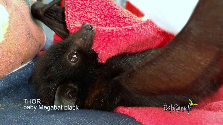 Rehab Thor Megabat black baby flying-fox fruit bat   Megabats and Microbats