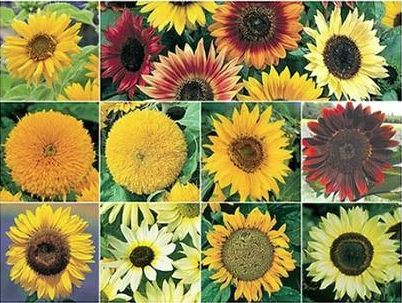 Not sure which sunflowers to choose!