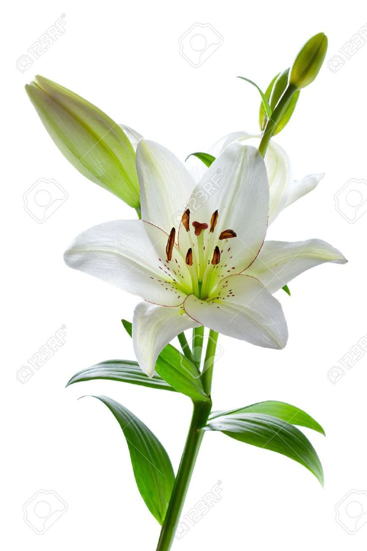 Best 20 white lily flower ideas on pinterest lilies white white lily beautiful white lily flowers isolated on white dhlflorist Image collections