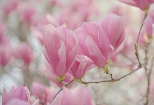 Photograph of a tulip tree in blossom.