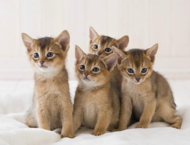 There is nothing cuter than an Abyssinian kitten...except maybe more Abyssinian kittens! - Spoil your kitty at www.coolcattreehouse.com