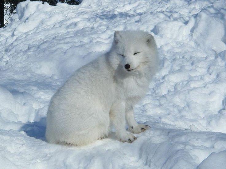 Le renard polaire et sa tête de nounours blanc