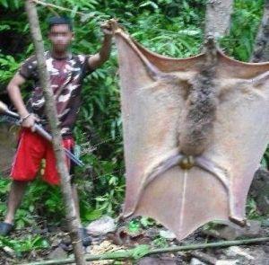 필리핀 골리앗 박쥐의 크기 ㅎㄷㄷ
