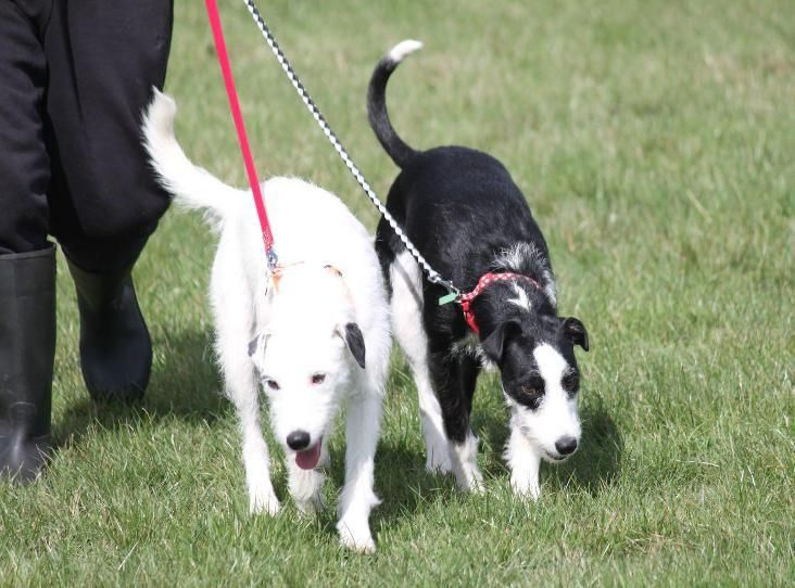 Pin On Dogs Sighthounds In Rescue