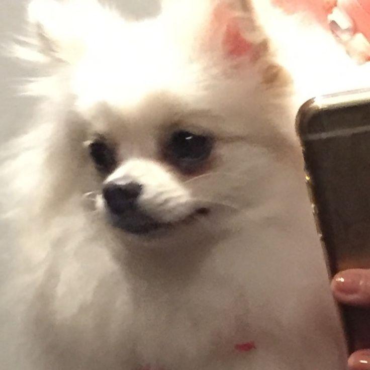 #自撮り アプリでリリーを撮ってみた�� ①ふつー ②アプリ #犬 でも#盛れる �� どっちが#かわいい のかは微妙w  #dog #pomestagram #pomeranian #lily #cute #picture #kawaii #selfie  #いぬすたぐらむ #ポメラニアン #ポメスタグラム #リリー #愛犬家 http://misstagram.com/ipost/1546224402968974839/?code=BV1Sub6AZX3