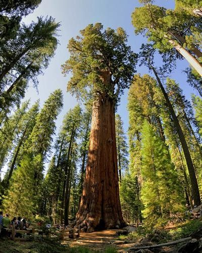 how to grow a sequoia tree