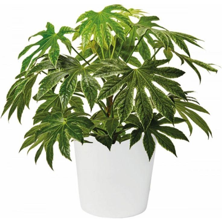 Spindelvävsaralia - Frodig växt med stora blanka blad, dramatiskt mönstrade i vitt och grönt. Bra luftrenare. Trivs i ljust läge, undvik direkt sol.