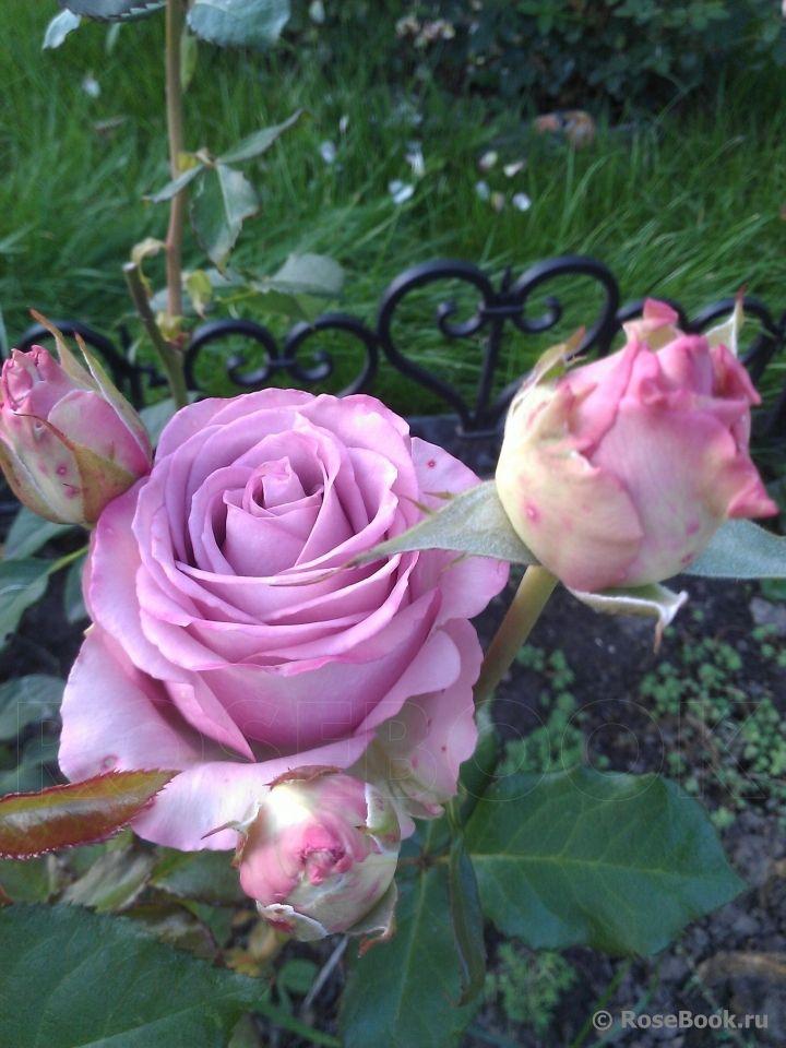 'Cool Water' |  Srezochnyh (Florists Rose ) Petrus Nicolaas Johannes Schreurs Netherlands