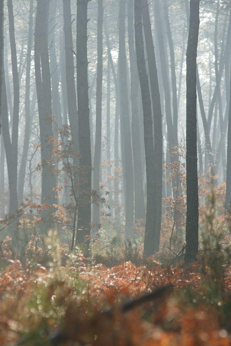 Un petit coin de la forêt des Landes de Gascogne sous le brouillard. #ecotourisme