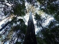 tall trees of Tassie