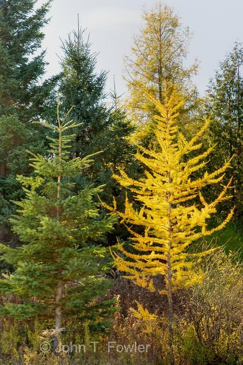 Tamarack trees (Larix laricina), Eastern Larch in late autumn