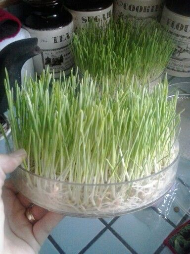 Barley micro greens sprouted in a biosnacky tiered sprouter for our rabbits.♡
