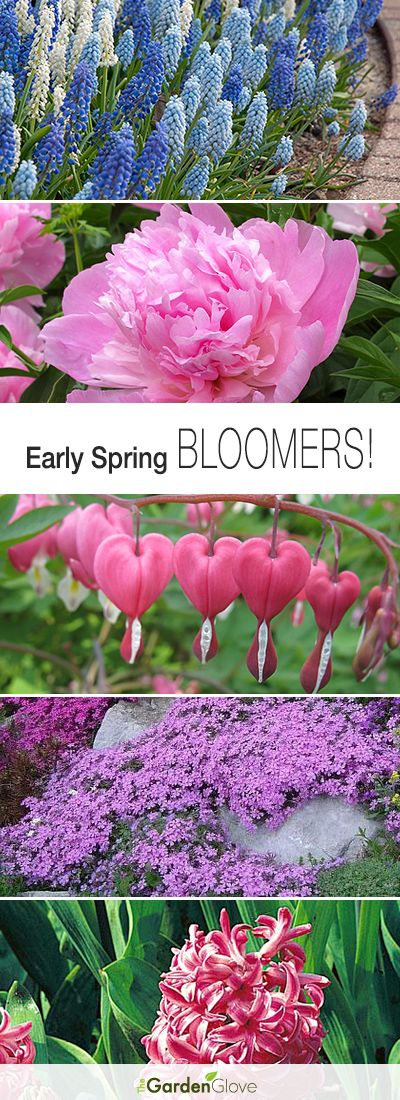 Early Spring Bloomers! • Here's our top picks for early spring bloomers, and tips on how to grow them!