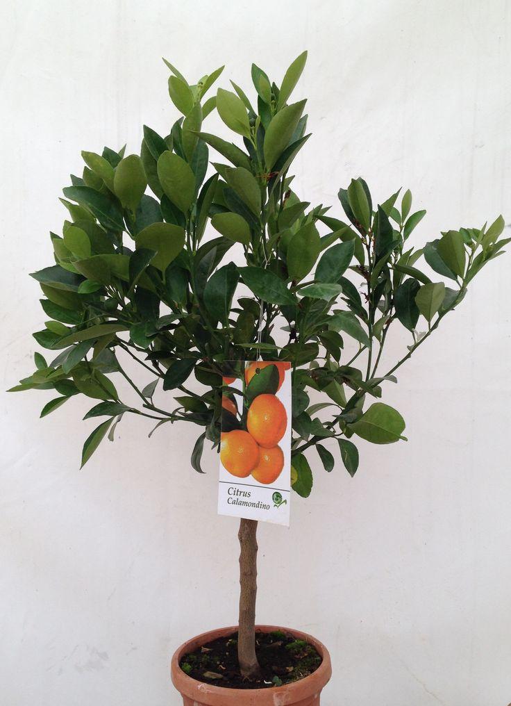 Calamondin Citrus in fruit, 50cm+ height, 2ltr decopot