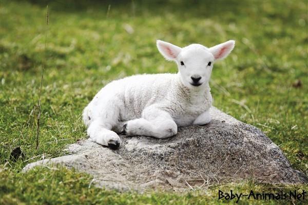 Bebek hayvan resimleri