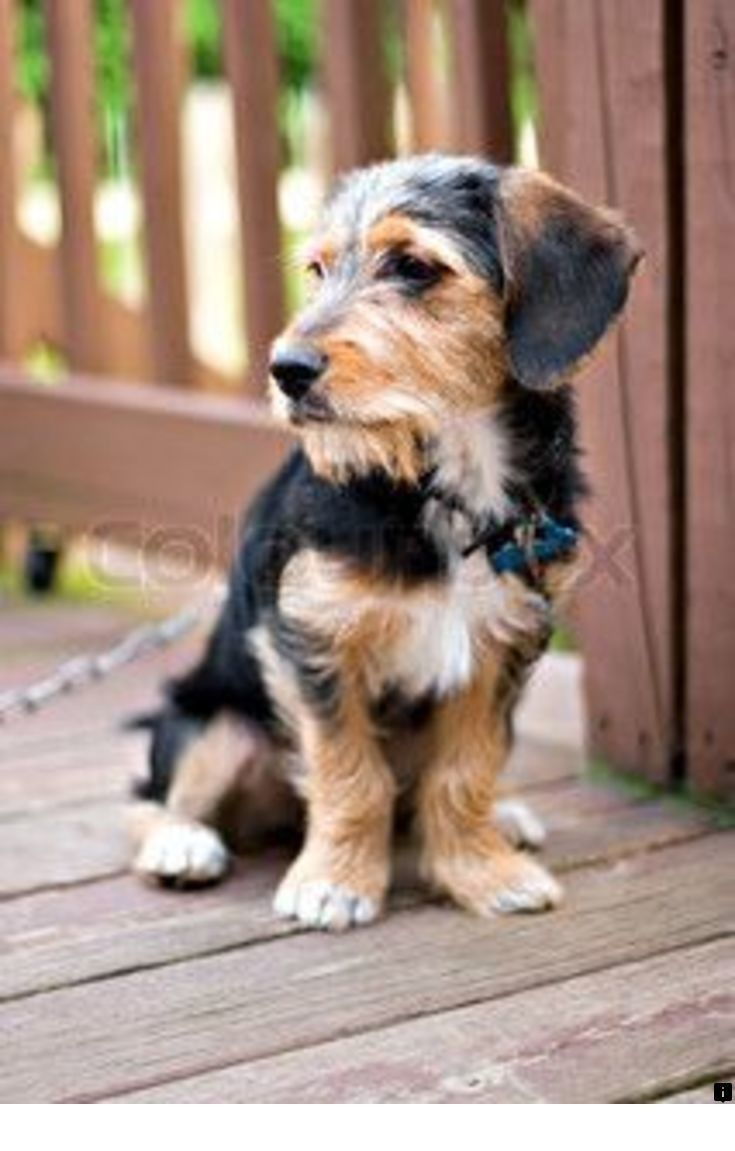 Find More Information On Yorkshire Terrier Simply Click Here For