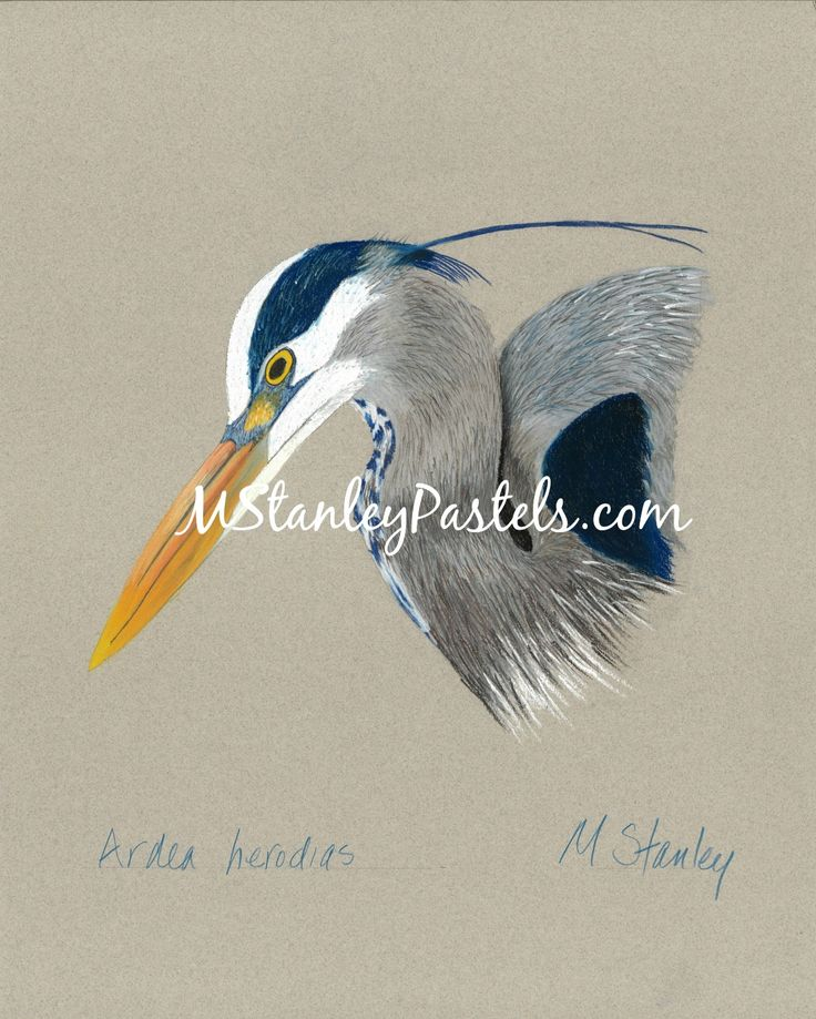 Pastel drawing of the blue heron Ardea herodias. Wish to purchase it? Please go to http://www.etsy.com/shop/mstanleypastels
