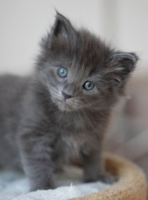 Grey kitten still in the blueeyed phase. I really want a