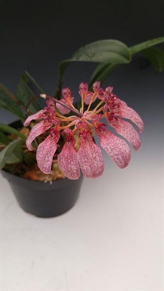 https://www.orchidweb.com/products/bulbophyllum-eberhardtii~3899.html