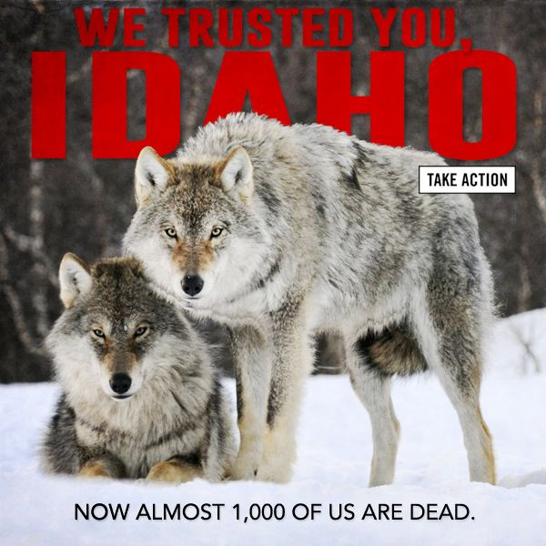 nike air tour classic golf shoes Just this year  Idaho passed into law the setting aside of nearly  500 000 to exterminate 500 wolves and since then  almost 1 000 wolves have been killed  Help stop these outrageous murders