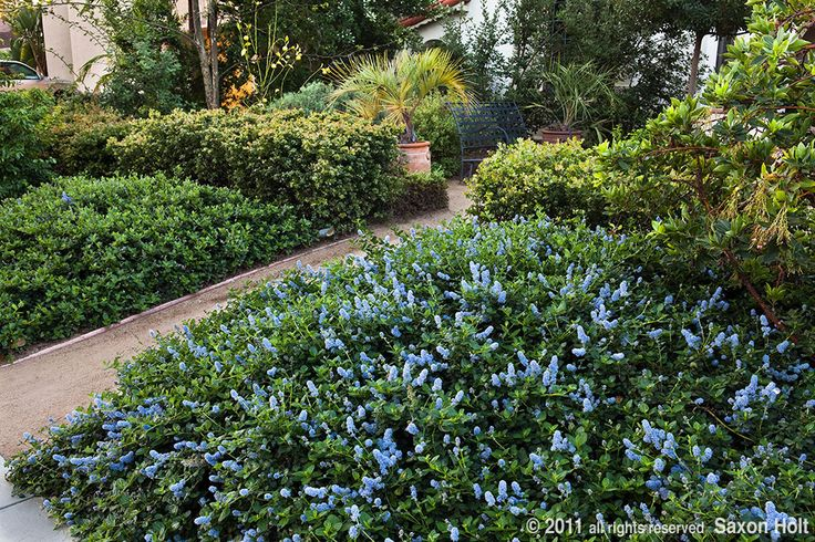 Ceanothus yankee point great as a groundcover on slopes for Landscaping with native plants