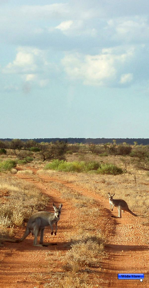 Kangaroos...this is a typical sight on country and outback roads in Australia