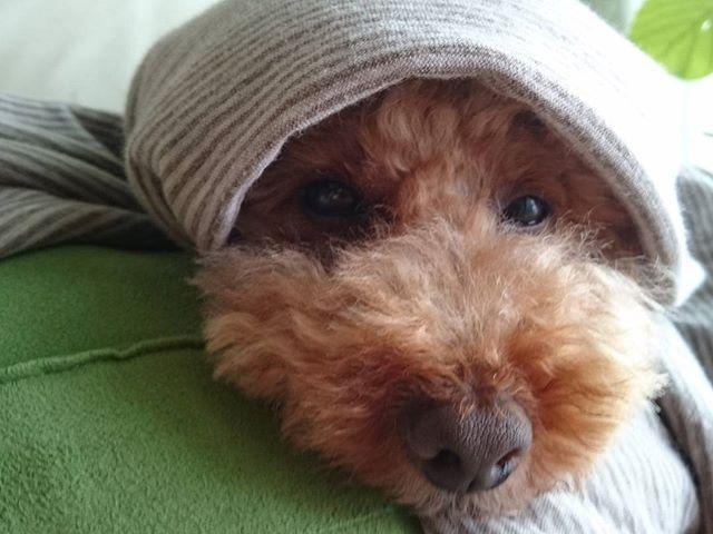 おはようございます。  朝晩はめっきり涼しくなったので、ほっかむり風にブランケットを巻いてもらうに限るねっ。 おらは散歩に連れてって貰えるまでこうして待ってるだよ。 かあちゃん、早く連れてって~‼ #トイプードル #犬 #わんこ #愛犬 #犬バカ部 #犬との暮らし #もこ #ほっかむり #ブランケット #無印良品 #toypoodle #dog #poodle #poodlelover #toypoodlelover