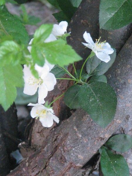 Spring-blooming trees series- by Heli Aarniranta on ARTwanted