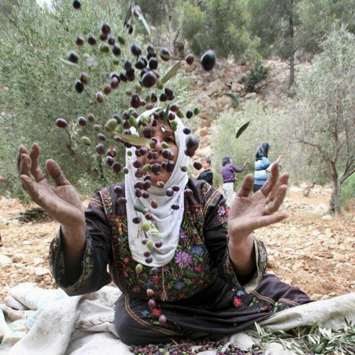 17 Best Images About Olive Trees Of Palestines On Pinterest Trees Posts And Olives