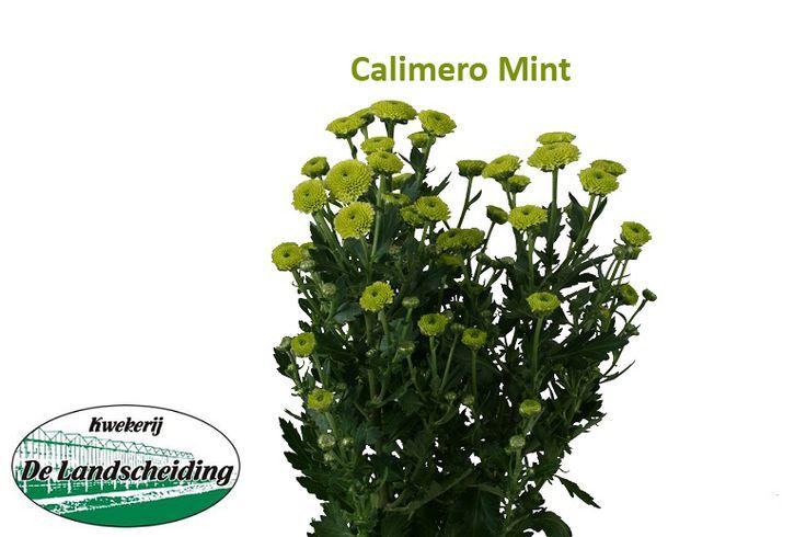 Calimero mint