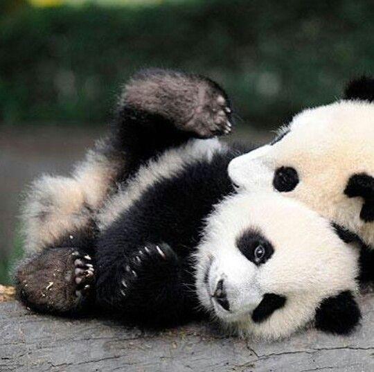 #panda #pandas                                                                                                                                                     More