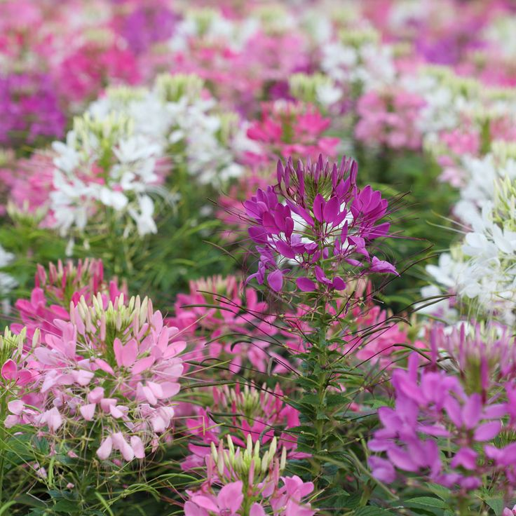 Cleome hassleriana 'Colour Fountain Mixed' - Half-hardy Annual Seeds - Thompson & Morgan Spider Flower. Blooms July, August, September/border plant/ (seed in milkjug)