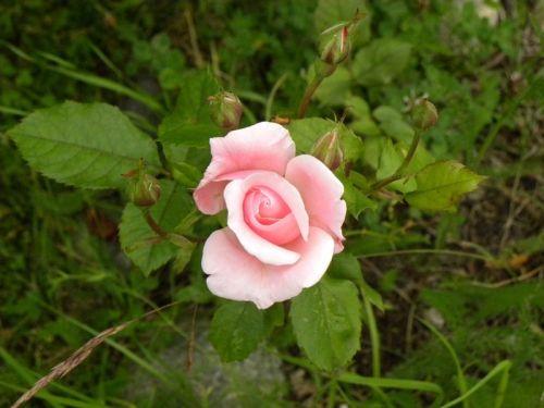 Första rosa rosen att slå ut. Fotat av Ockelbo Webbdesign.