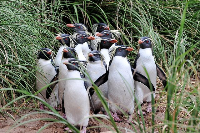 Northern rockhopper penguins. Nightingale Island, Tristan da Cunha | Flickr - Photo Sharing!