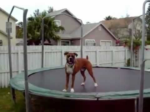 Bouncing Boxer Dog Having Fun On The Trampoline Will Make You Smile - http://www.rescuedognews.com/bouncing-boxer-dog-having-fun-on-the-trampoline-will-make-you-smile/