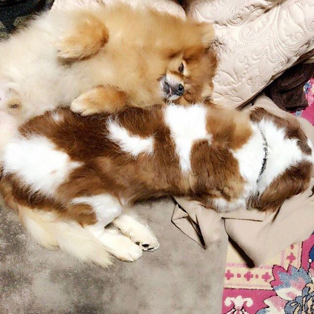・ 一見仲良さそうに寝てるような写真ですが 私がリュウ寝てる横にエースを仰向けで転がしたら そのまま寝てしまいましたの図🐶💓 お互い暖かいから気持ちいいよねイビキかいてるし🙄 もう見てるだけで癒されるなこれ( *¯ ꒳¯*) お互いマウンティングしなくなったしなんかもう 仲良しだなーって思いながら眺めてる😌 ゆかちから猫の惚気聞きながら犬の惚気話してる♪ #愛犬 #エース #ポメラニアン  #ぽめ部 #リュウ #キャバリアキングチャールズスパニエル  #キャバリア #キャバリア部 #いぬすたぐらむ #可愛いなぁもう