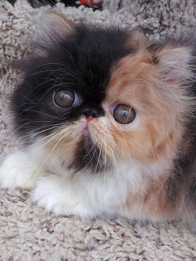 calico persian female kitten